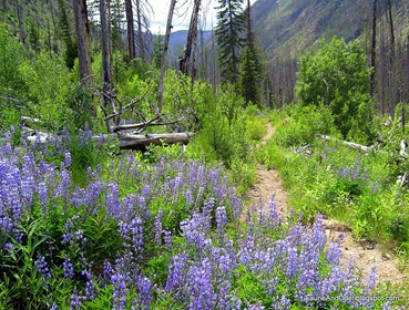 Lupine along Trail