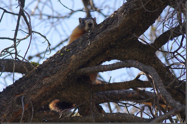 Marmot in the tree