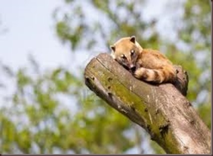 Amazing Pictures of Animals Coati Nasua. Alex (8)