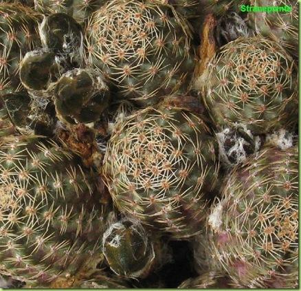 Rebutia pygmaea  boccioli