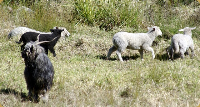 Next door's sheep and the tattiest looking goat ever - Blackberry