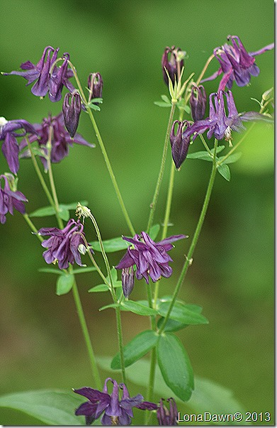 Augilegia_Purple_Columbine2