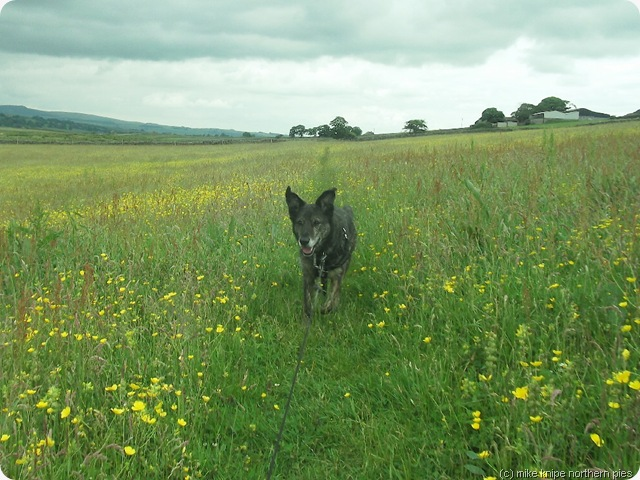 bruno in a baldersdale hay meadow