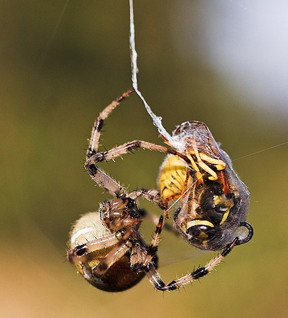 Spider vs wasp 3