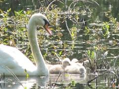 baby swans2