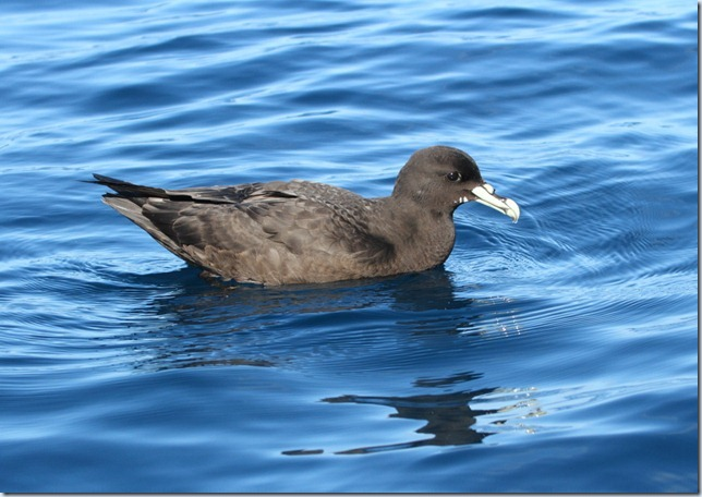 white-chinned_petrel2