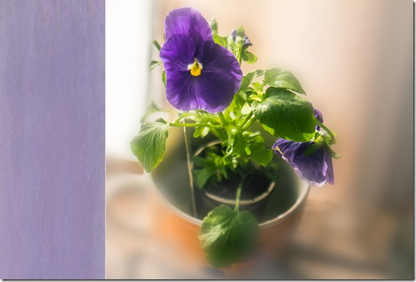 purple-pansie-with-pdpatexture