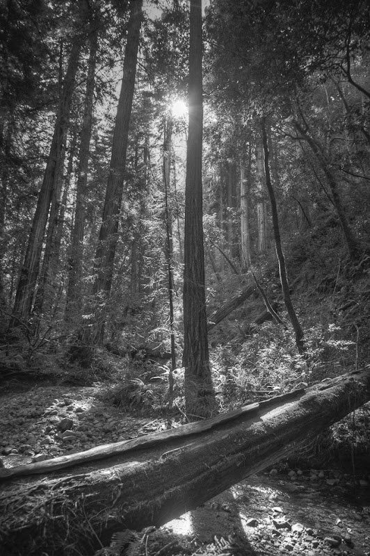 Muir Woods Black and White-7