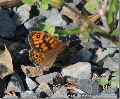 wall-butterfly