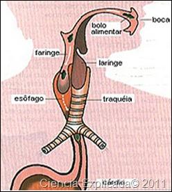 faringe en el sistema digestivo