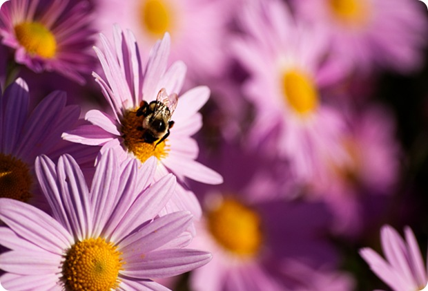 mums and bee