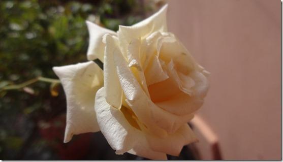 flor-flores-rosas-imagens190