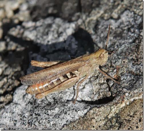 7-grasshopper