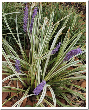 110915_Liriope-muscari-Silvery-Sunproof_01