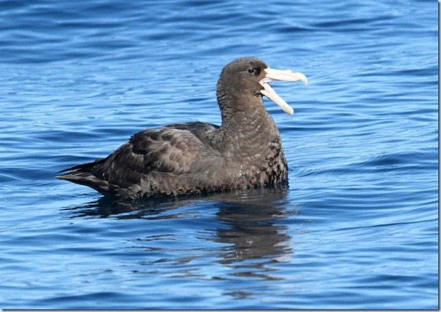 southern_giant_petrel1