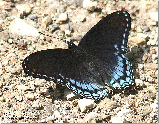 CF_Butterfly