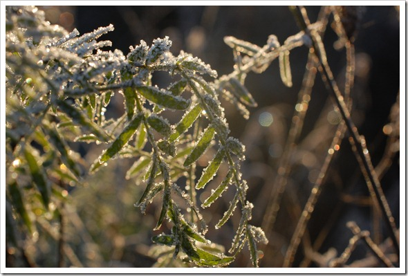 Frosty Morning (3)