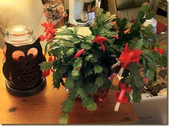 New Christmas Cactus