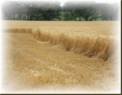 Cut wheat 2