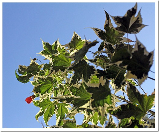 110915_Abutilon-Souvenir-de-Bonn