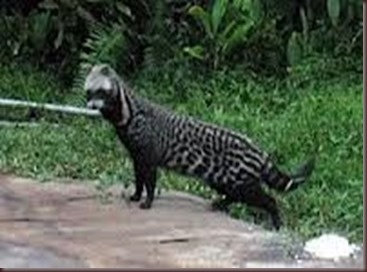 Amazing Pictures of Animals, photo, Nature exotic, funny, incredibel, Zoo, African civet, mammals, Alex (14)