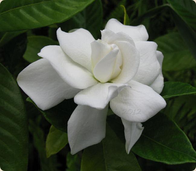 05-13-first-gardenia3