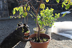 That's not enough of a hint!  Hmm, the label in the pot says 'Carambola.'  That name doesn't sound familiar.