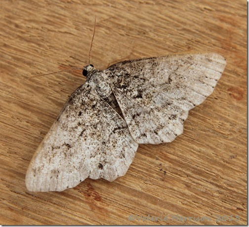 engrailed or small-engrailed