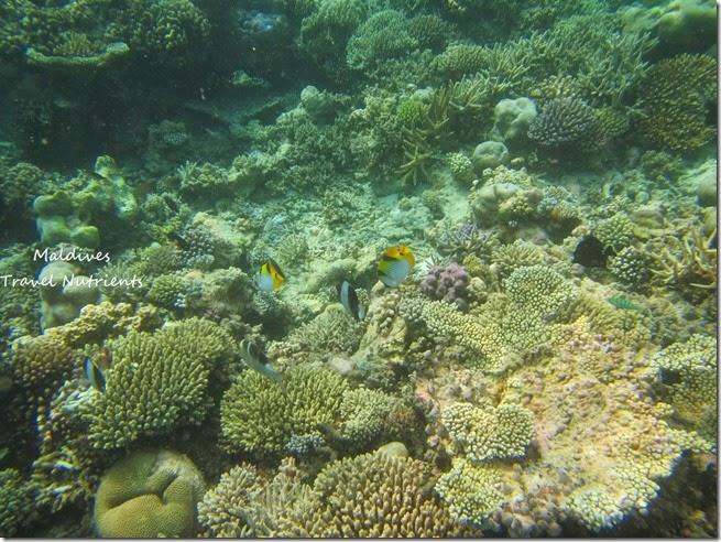 馬爾地夫 野餐島 浮潛 (14)