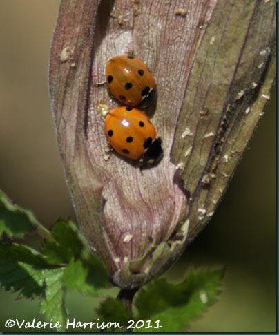 10-7-spot-ladybirds