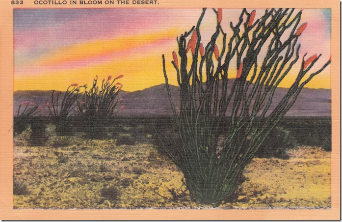 Ocotillo In Bloom On The Desert Pg. 1