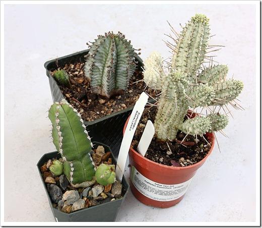 120226_Euphorbia-horrida_mammillaris_makallensis_04