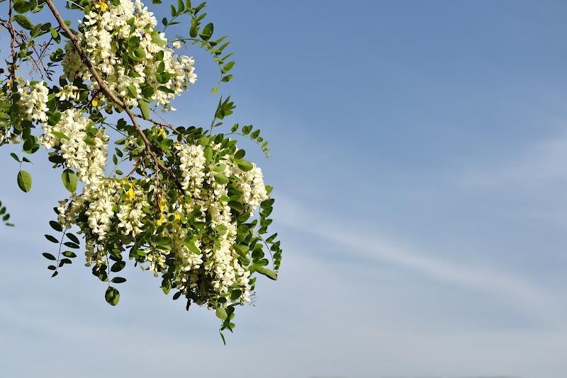 Inaintand inapoi catre primavara, salcami in floare.