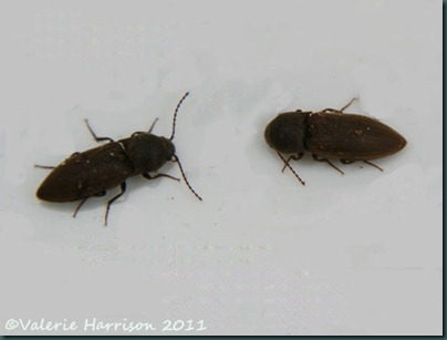 click beetle Agriotes sp