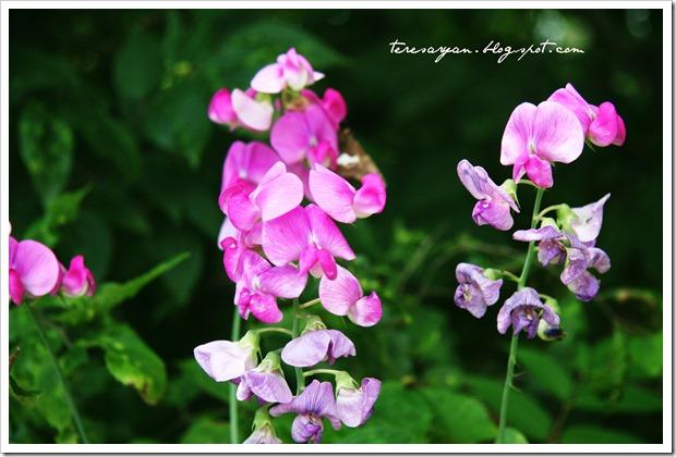 pink junk yard wild flowers