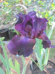 iris deep purple black