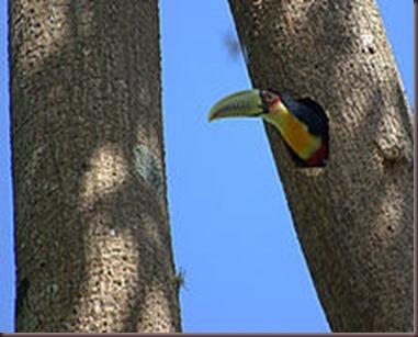 Amazing Pictures of Animals photo Nature exotic funny incredibel Zoo, Ramphastidae, Toucan, Bird, Alex (3)