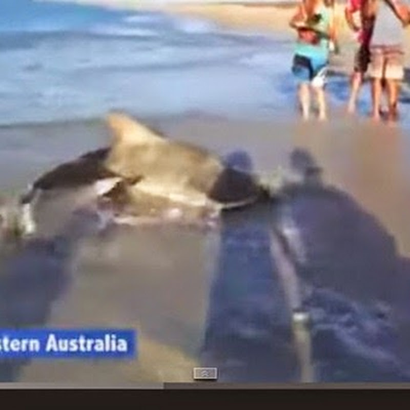 Διάσωση ενός καρχαρία