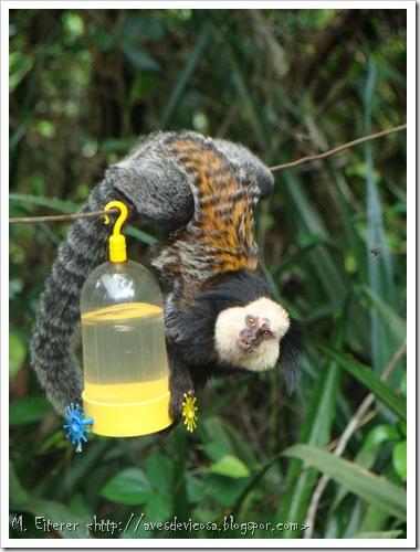 Visitante de bebedouro de beija-flor. Sagui-de-car- branca (Callithrix geoffroy).iFoto: M. eiterer