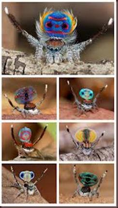 Amazing Pictures of Animals, photo, Nature ,exotic, funny, incredibel, Zoo, Maratus volans,  Peacock spider or Gliding spider, Alex (24)