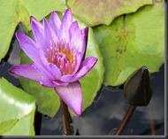 LAVENDER WATER LILY 8