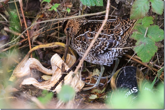 GreatSnipe_Kilnsea-2