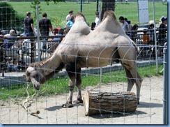 0290 Alberta Calgary - Calgary Zoo Destination Africa - Eurasia - Bactrian Camel