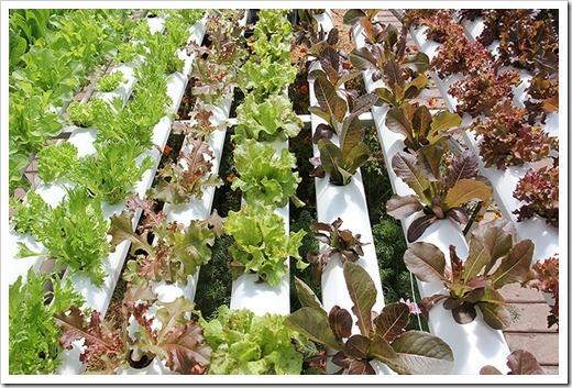 hydroponic-lettuce_2