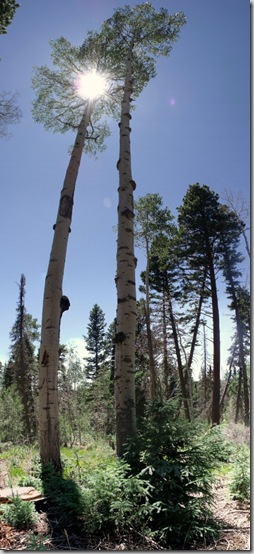02 Towering trees along trail to North Rim fire tower NR GRCA NP AZ (464x1024)