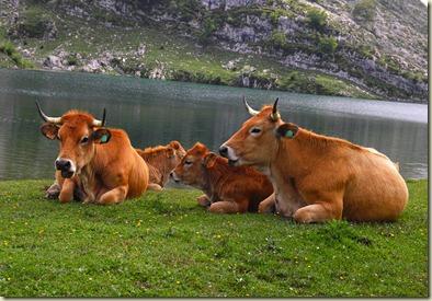 Vacas vaques Asturias Asturies