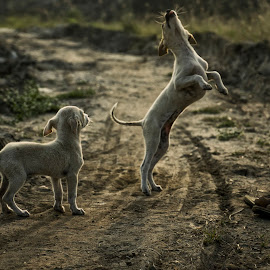 PuPPiES Play Time by Parthi Thi - Animals - Dogs Playing ( love, playing, puppies, dogs, india, low light, nikon, morning, tamron, photography )