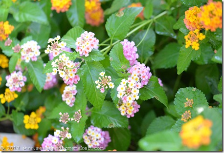 Lantana 2