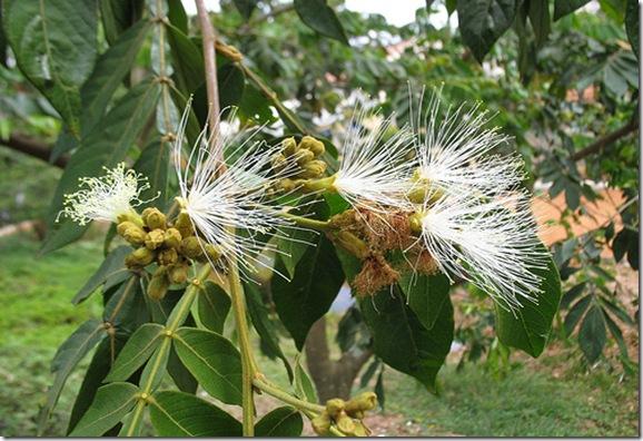 flores de ingá