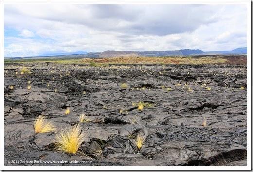 Hawaii: Lava and fountain grass